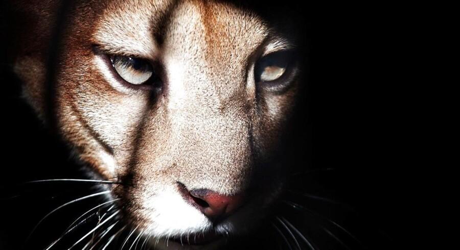 Mountain lion er et sultent dyr - i hvert fald hvad batteritiden angår