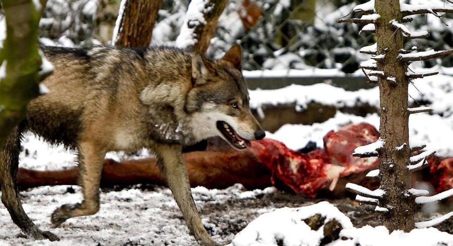 Hvis der findes en ulv i Danmark, er det første gang i knap 200 år. Denne bor dog også i landet, men bag tremmer i Zoo.