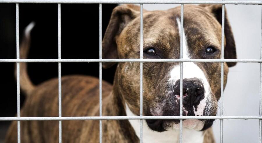 ARKIVFOTO.To år efter at 13 kamphunderacer blev forbudt, er både antallet og sværhedsgraderne af de hundebid, der sker, det samme som for fem år siden.