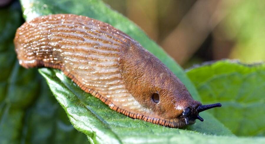 Denne snegl har efterhånden fået mange navne. Den går under navne som Iberisk Skovsnegl, Iberiaskovsnegl, Spansk Skovsnegl, Dræbersnegl og det latinske navn Arion lusitanicus.