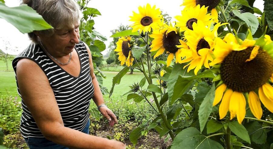 Astrid Thuesen ved Mollerup mellem Viborg og Randers har en utrolig solsikke med langt over 200 blomster og knopper, som man kan se på billedet her, der er taget i dag d.17.august 2010. (Foto: Preben Madsen/Scanpix 2010)