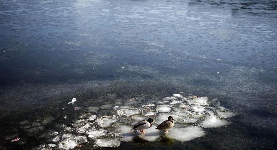 Ænder, svaner og andre fugle kan stadig gå på søerne i København.