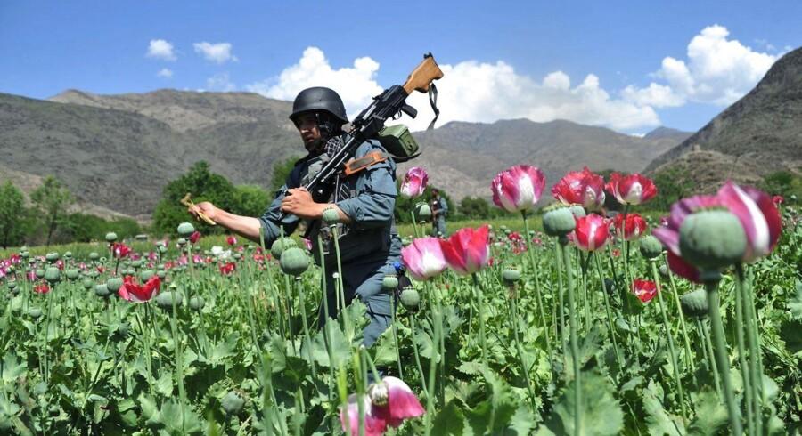 En afghansk sikkerhedsvagt ødelægger opiummet i markerne i Noor Gal-distriktet i øst-Kunar-provinsen.