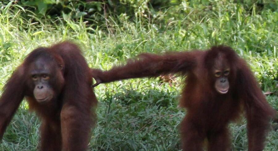 Orangutanger hører hjemme i Malaysia og Indonesien, men de bliver handlet med ulovligt over hele Sydøstasien til enten private zoologiske haver eller som kæledyr (arkivfoto). Scanpix/Brian Bergmann