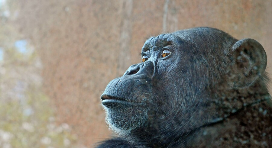 A chimpanzee looks on, at the Bioparco of Rome on March 28, 2014. AFP PHOTO / TIZIANA FABI