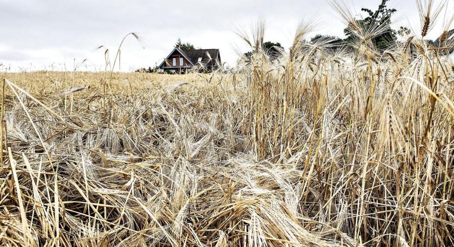 Tørre og gule kornmarker nær Barmer. Noget af kornet ligger ned. Landbruget er hårdt ramt af den varme og tørre sommer. Foto: Henning Bagger, Scanpix