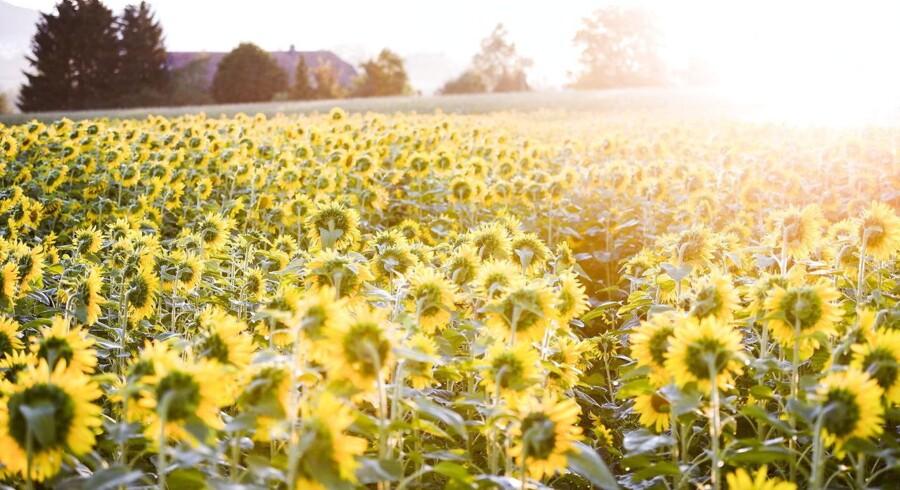 Solsikker drejer sig efter solen på en mark nær Thun i Schweiz.