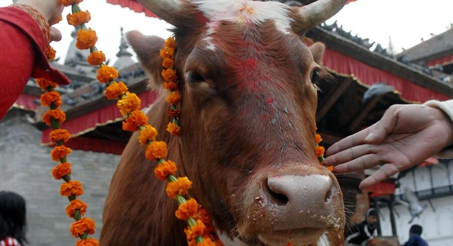 Ekstrem fattigdom gennemsyrer Nepal, der stadig kæmper for at komme på fode efter det store jordskælv i 2015. Men i et land, hvor mange går sultne i seng, ser man aldrig en ko, der lider.