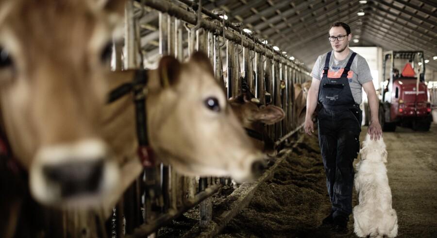 Landmand Jeppe Bomann frygter, at flere i branchen må dreje nøglen om, hvis Danmark mister den såkaldte kvægundtagelse. Ordningen er 40-80 mio. kr. værd for kvægbønderne, men EU-kommissionen tøver med at forlænge den som følge af landbrugspakken. Her er han fotograferet i stalden. (Foto: Tor Birk Trads)