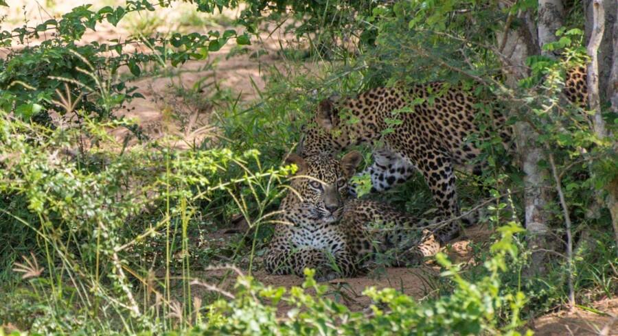 Leoparder i nationalparken Yala i Sri Lanka.