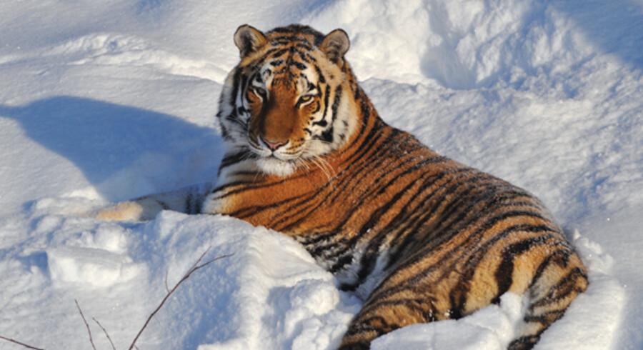 Tigeren i sneen er et betagende syn.