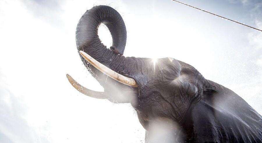 Arkivfoto: Elefanterne i Cirkus Arena er på vej på pension.