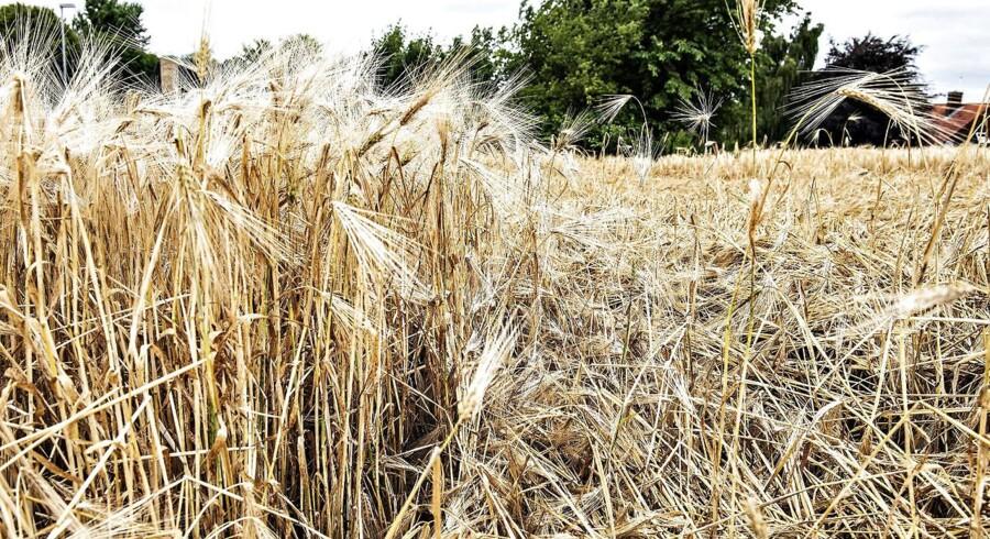 Tørre og gule kornmarker nær Barmer.