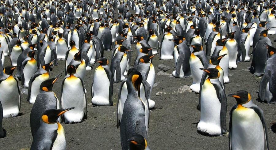Kolonien af kongepingviner på Ile aux Cochons i den subantarktiske Crozet øhav, som er den største af sin slags i verden, er skrumpet med næsten 90 pct. på 35 år, konkluderer forskere på baggrund af sattelitbilleder i et studie publiceret i udgangen af juli 2018. Her ses Kongepingviner fra Possession Island i øhavet.