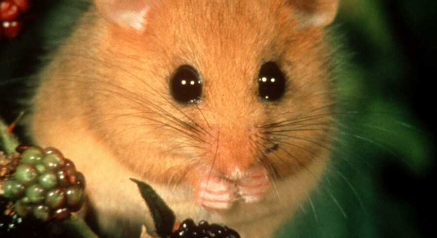 Flere dyrearter, der i forvejen har det hårdt i den danske natur, er ifølge biolog i fare for at forsvinde.