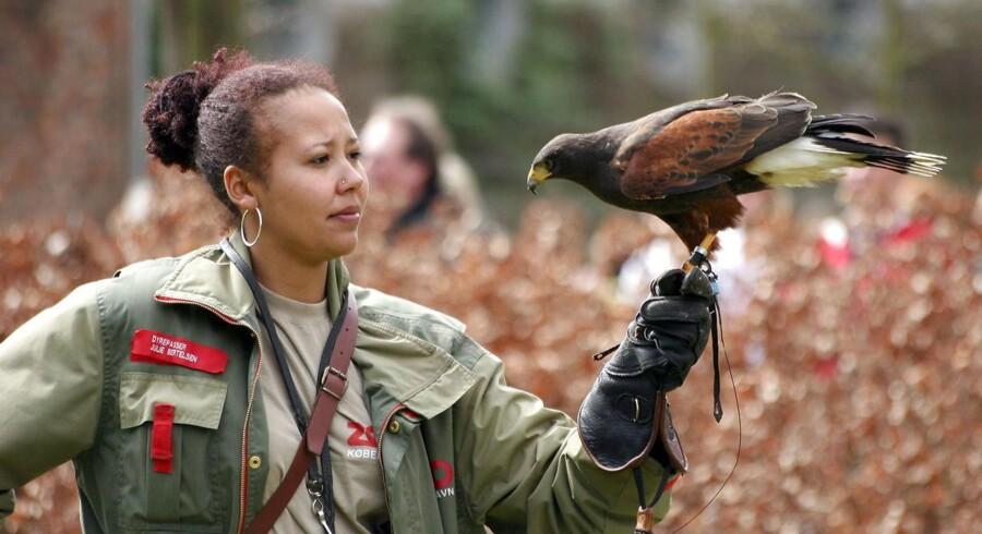 (ARKIV) En af mange oplevelser i Københavns Zoologiske Have er, når der trænes med de store rovfugle. Her er det dyrepasser Julie Bertelsen som falkoner der viser, hvad den brunskuldrede våge kan mandag 17. april 2006. Zoologiske haver vil sidestilles med museer og dermed slippe for lønsumsafgift. Højesteret siger nej. Det skriver Ritzau, torsdag den 7. juni 2018.