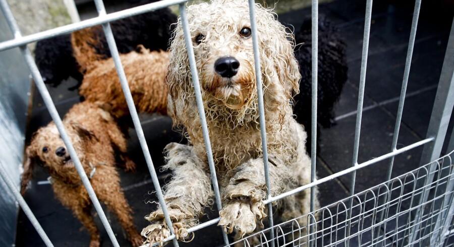 ARKIVFOTO. Nye tal fra Dyrenes Beskyttelse viser, at antallet af henvendelser om dyreværnssager steg med cirka 50 procent fra 2011 til 2012. Billedet er fra en dyreværnssag fra Langå/Houlbjerg.