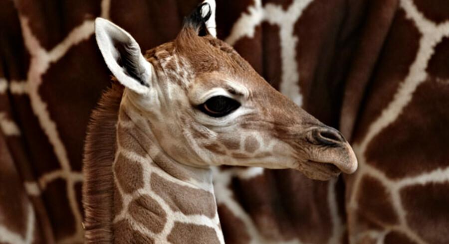 Den lille ny giraf.