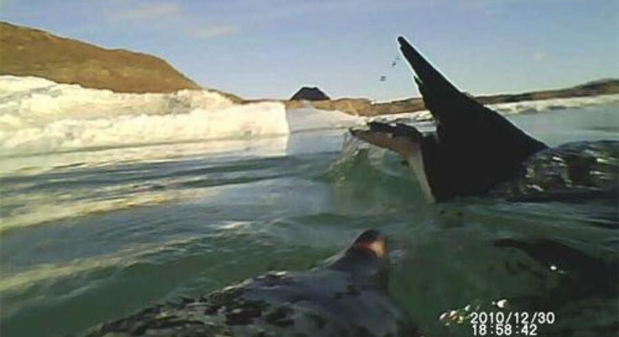 En pingvin har optaget en anden pingvin, på vej til at dykke ind under isranden for at fange krill og isfisk.