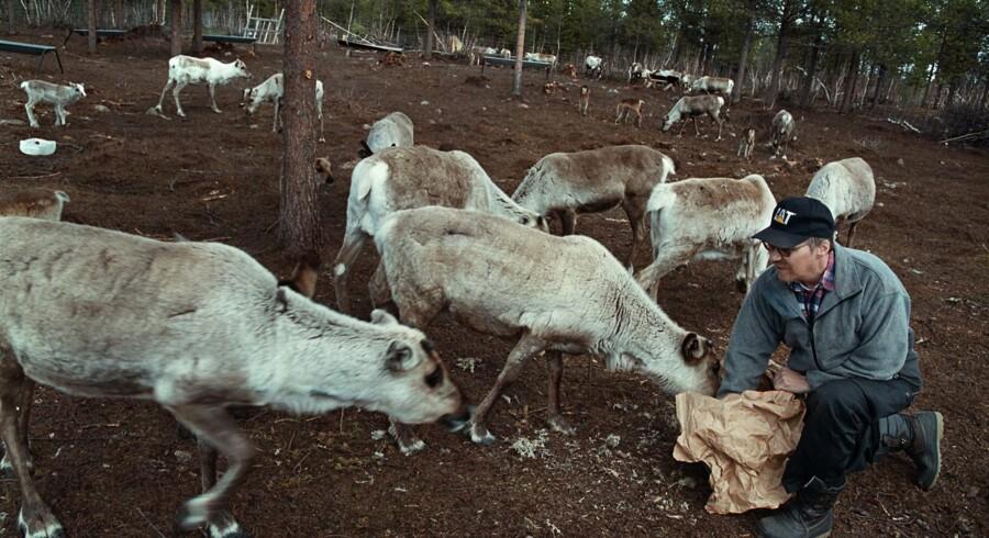 I et afsides område af en nationalpark i Norge er over 300 rensdyr fundet dræbt, formentlig af lyn. Oplysningerne er fortsat foreløbige. Området ligger så afsides, at naturmyndighedernes folk må flyves dertil. På billedet giver en same sine rensdyr mad i Finland. Scanpix/Linda Kastrup
