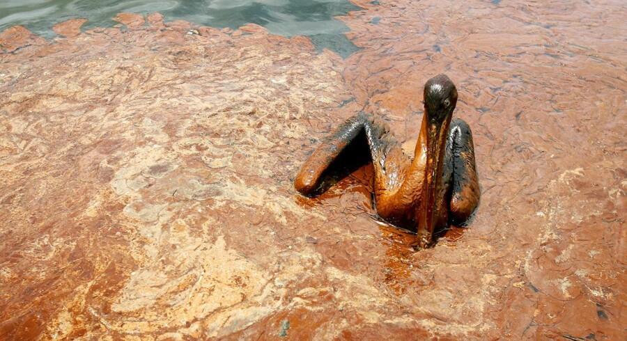 Fra oliekatastrofen i Den Mexicanske Golf i 2010. En pelikan er fortabt i en oliepøl.