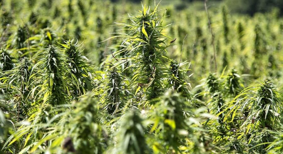 Læger efterlyser dokumentation for virkningen af medicinsk cannabis. Første forsøg er på vej.