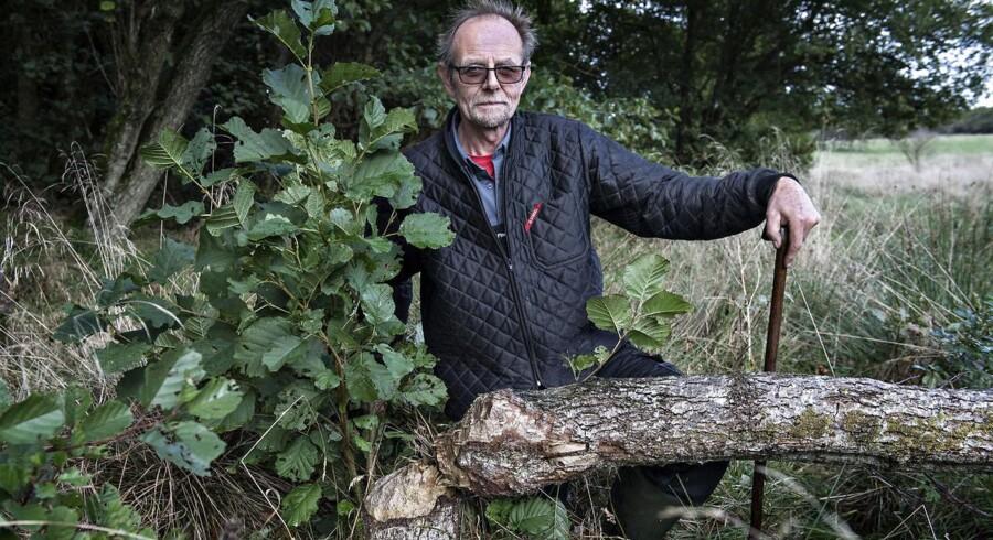 Lodsejer Find Andersen-Fruedahl ved træ fældet af bævere på hans ejendom i Bækmarksbro mellem Lemvig og Holstebro, torsdag 5. oktober 2017. Find Andersen-Fruedahl har ifølge ham selv bæver-skader for op mod 300.000 kroner og har derfor sagsøgt staten.