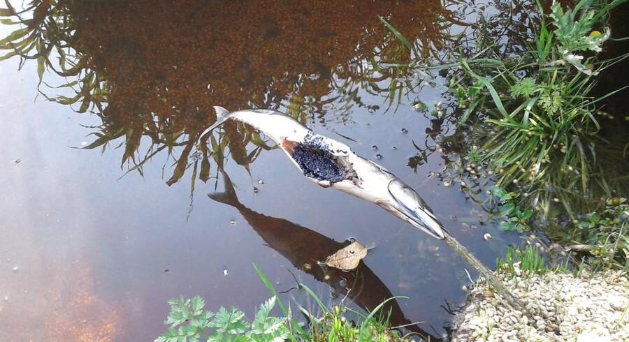 Ukendte gerningsmænd har udlagt fisk indeholdende den ekstremt farlige nervegift, carbofouran ved en sø i den nordlige del af Store Vildmose ved Brønderslev.