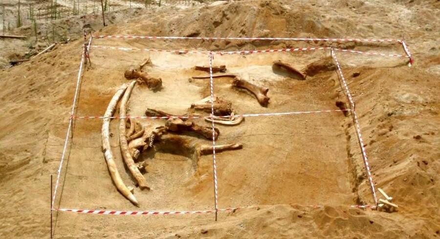 Det var en foreløbig rekord da man fandt fem meter lange stødtænder fra en mammut i det nordlige Grækenland i 2007.