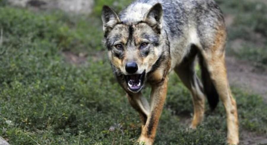 En norsk mand skal syv måneder i fængsel for at have skudt en sjælden ulv på sin ejendom. Arkivfoto Free/Colourbox