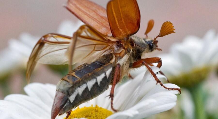 Oldeborre er en stor danske bille, der nogle år kan være særlig talrig. Tidligere blev sådanne år omtalt om oldenborreår.