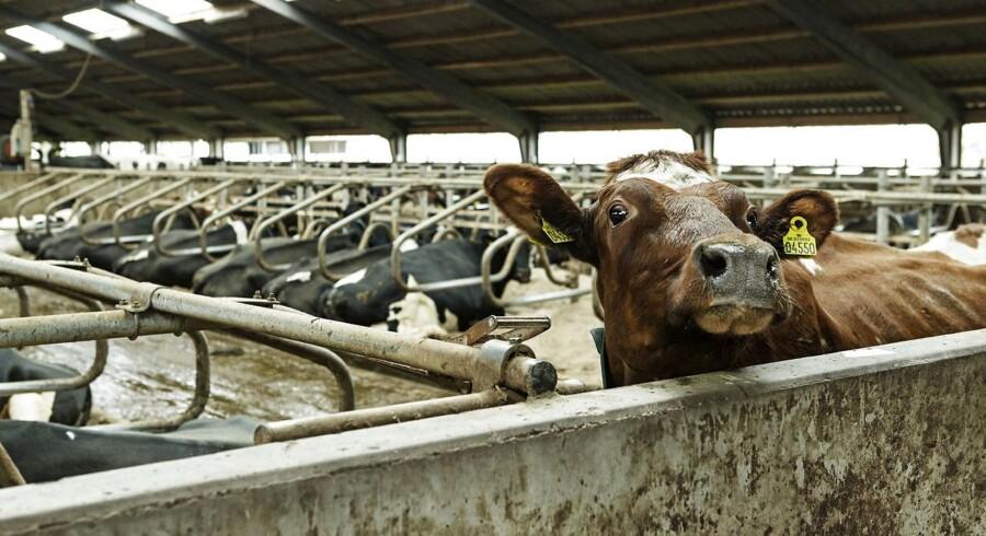 Landmand Torben Brødbæk, der udvider fra 680 til 800 økokøer, og er en af Danmark største økologiske mælkeproducenter. Mælkeproducenten leverer til Thise Mejeriet.