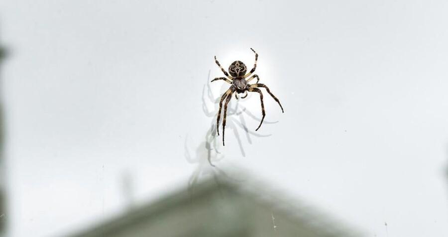 Bare rolig. Edderkopper er ikke farlige. De virkeligt giftige lever mest i Sydamerika og Australien, beroliger professor. Foto: Axel Schütt/Scanpix 2016