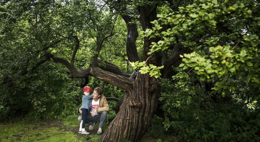 Centerleder Anders Jørn Jensen fra Miljøpunkt Nørrebro med sønnen Børge under Nørrebros ældste træ - en to hundred år gammel hvidtjørn i De Gamles By. Måske bliver det ikoniseret.
