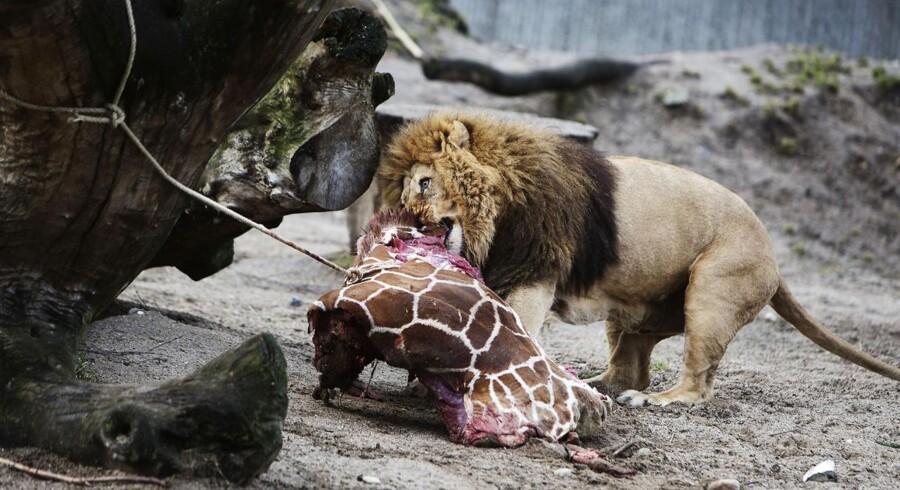 Løverne i Københavns Zoo blev fodret med giraffen Marius efter den blev aflivet i februar måned.