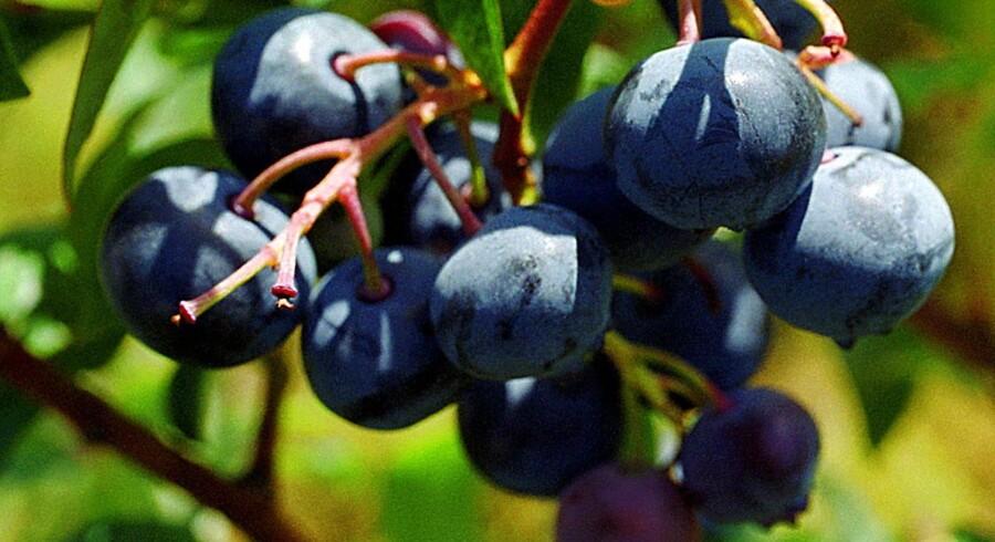 Den vestjyske jord er velegner til at dyrke de populære bær