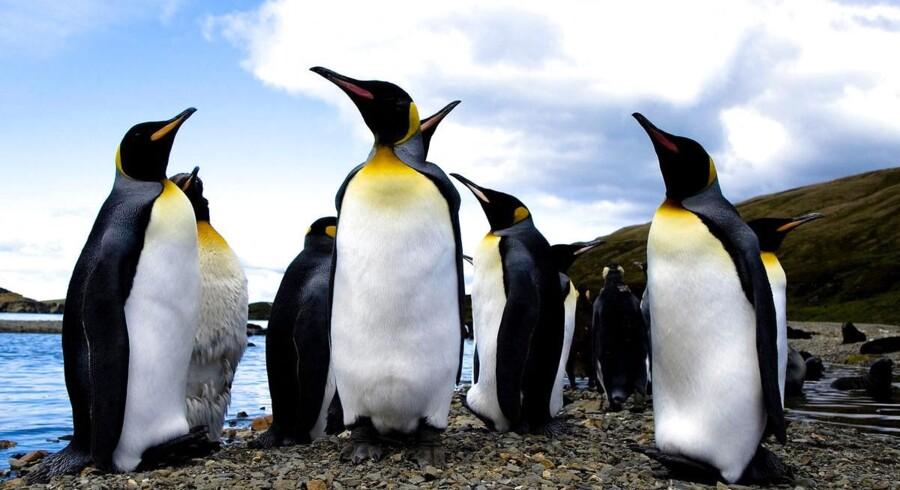 De pingviner, vi kender i dag bliver sådan cirka gåsestørrelse, mens de forhistoriske målte op til 1,3 meter.