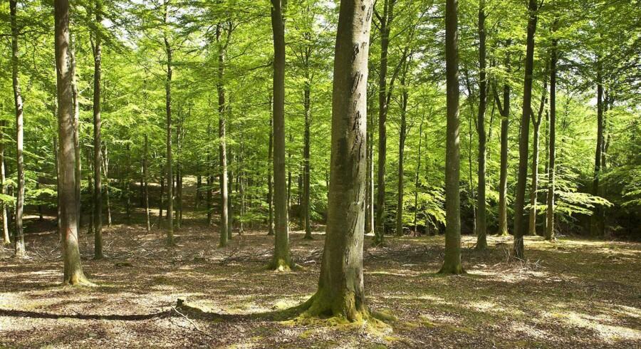 Furesø Kommune vil have undersøgt lovligheden af en privat skovrydning nær Søndersø. Fotografiet her kommer fra Berlingskes arkiv og er dermed ikke et før-billede af området nær Søndersø.