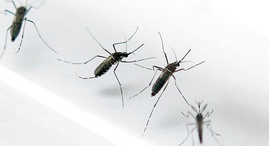 Aedes aegypti-myggen sættes i forbindelse med den farlige zika-virus, som kan give hjerneskader.