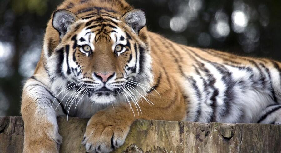 Onsdag måtte personalet i Knuthenborg Safaripark skyde en tiger, fordi den hoppede over et hegn og ind på et område, hvor den ikke skulle være.