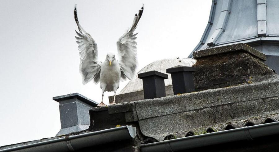 Måger terroriserer i midtbyen i Aarhus.