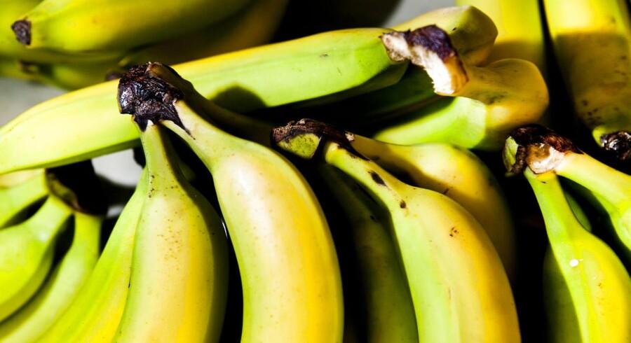 Det er sket tidligere i historien, at en banansort er blevet udryddet af svamp, og nu lader det til, at verdens mest udbredte spisebanan er truet på livet.
