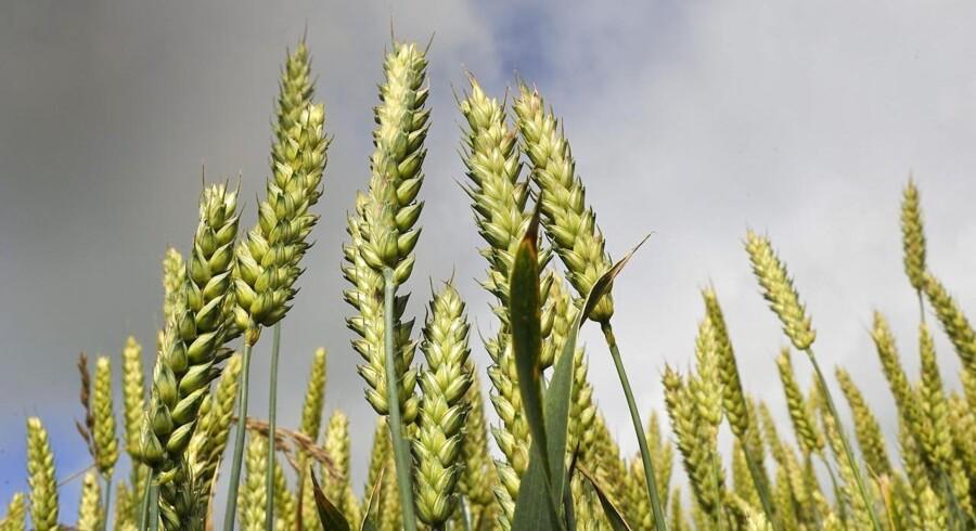 Amerikansk hvede er kommet i fokus efter fund af genmodificeret materiale, hvor det ikke skulle være. Her et sommerbillede af en vestjysk hvedemark.