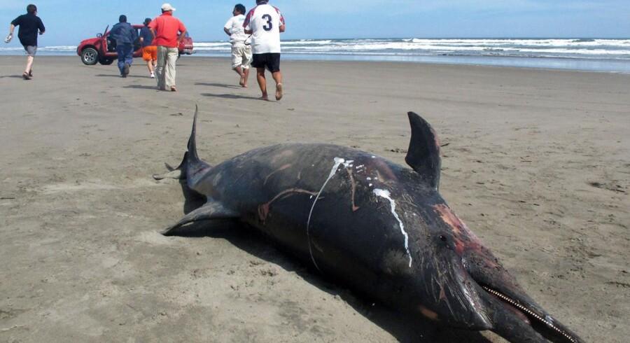 877 delfiner er fundet døde langs den peruvianske kyst 750 kilometer nord for hovedstaden Lima.