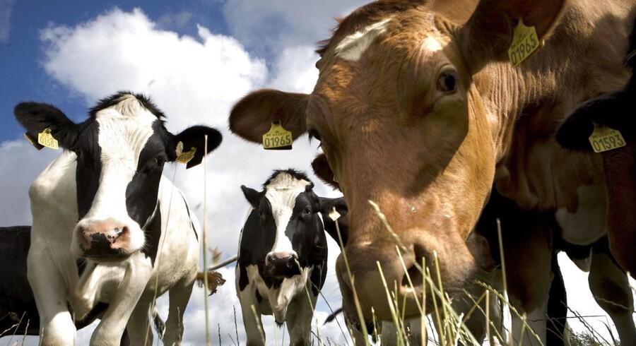 Urterne vejbred og cikorie er med til at gøre danskernes foretrukne drik - komælken - lidt sundere. Urter er blandt andet med til at øge mælkens omega-3-indhold.