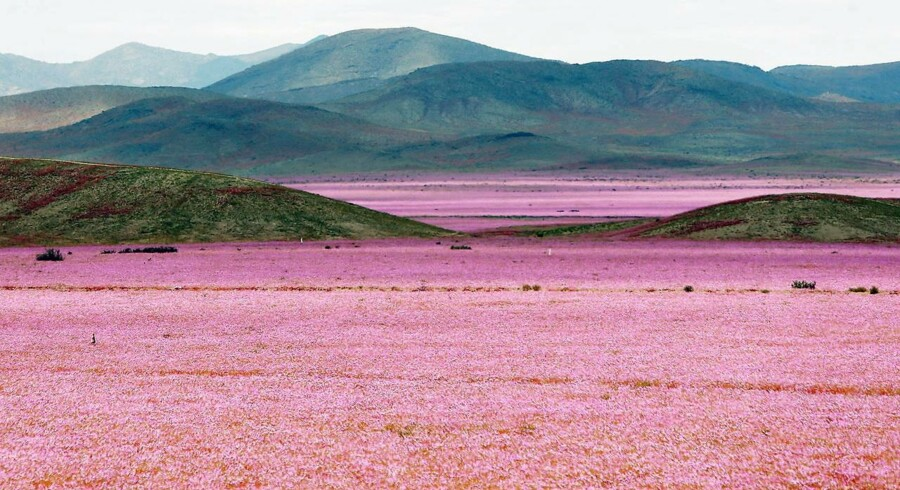 Atacama-ørkenen er brudt ud i fuldt flor. Malva-planten er gået i blomst efter et usædvanligt regnfald på det, der betegnes som verdens tørreste sted.