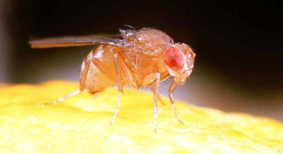 Siden 1911 har Drosophila melanogaster været brugt tilforsøg med arvelighed. Den har flere danske navne: Bananflue, eddikeflue, vinflueog frugtflue.