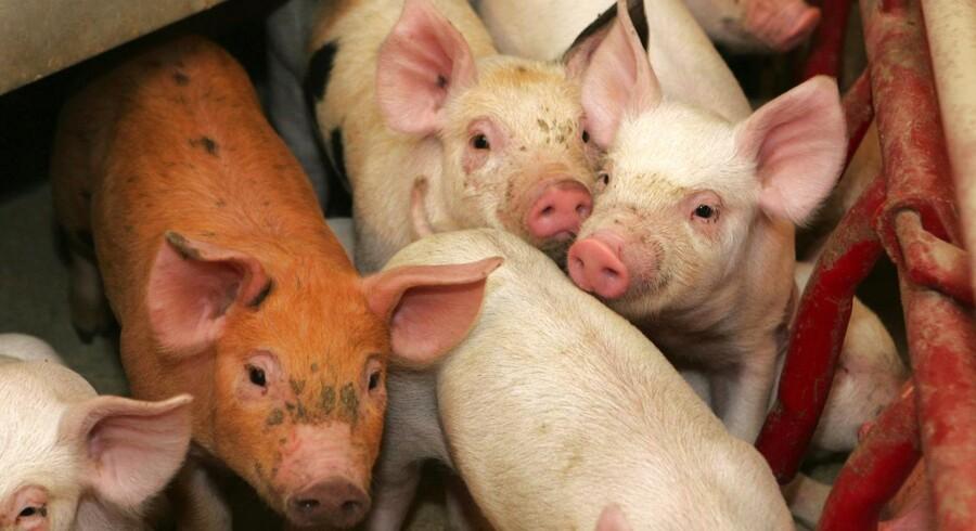Svinepriserne bliver i år lavere end ventet, men niveauet bliver dog højere end i 2012, vurderer Karsten Flemin, chefkonsulent hos Landbrug & Fødevarer, i Morgenavisen Jyllands-Posten mandag.
