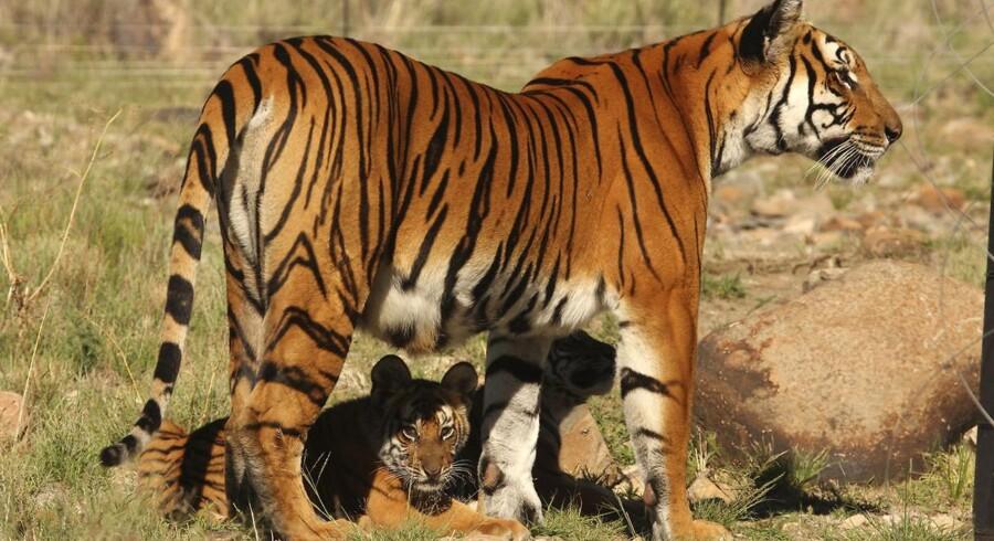 Matematisk teori om fordelingen af striberne på en tiger kan måske bidrage til bedre stamcelle-bygning af menneskelige reservedele.