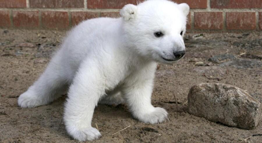Fire år blev Knut, der blev det helt store trækplaster i Berlins Zoo i marts 2007.
